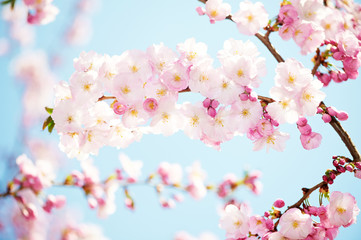 apricot tree flowers blossom