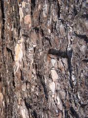 crust of pine tree