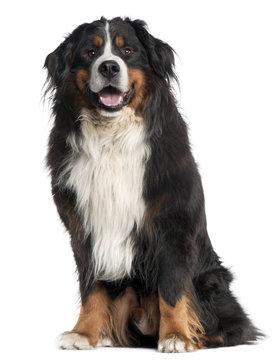 Bernese Mountain Dog, 6 years old,