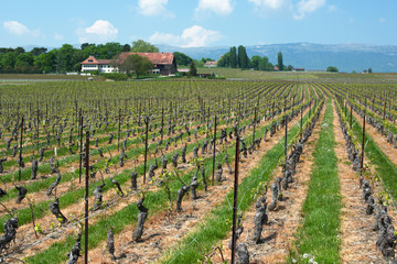 Swiss farms and wineyards, Geneva canton