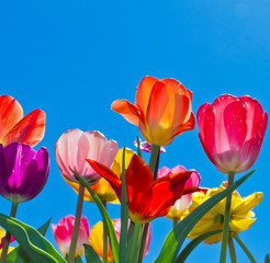 Fototapete - Colorful tulips