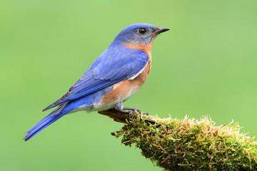 Fotoväggar - Eastern Bluebird