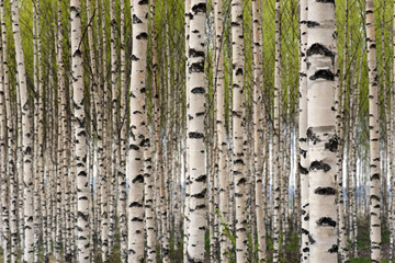 Printed roller blinds Birch Grove Birch trees