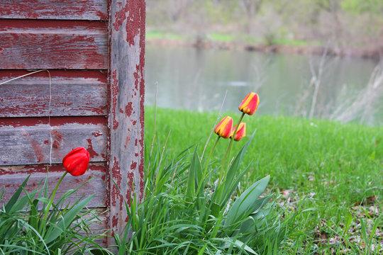 Rustic Barn with Tulips