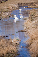 Geese in dirty water