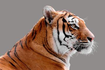 Portrait de profil d'un tigre détouré sur fond gris