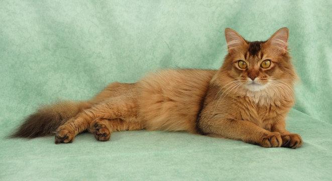 Chocolate female Somali cat