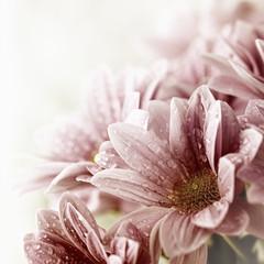 Wall Mural - Beautiful daisy flowers bouquet closeup