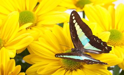 Bluebottle Butterfly