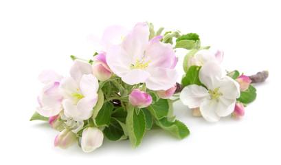 The flowers of apple-tree