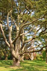 Amazing oak