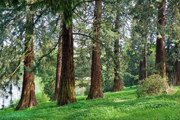 Sequoia Forrest