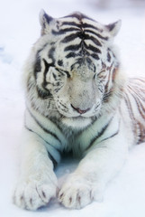 White tiger in winter