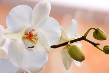 Foto auf Acrylglas Orchideen Weiße Orchidee (Phalaenopsis) mit Knospen