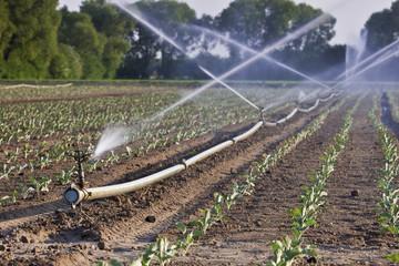 Bewässerung eines Feldes im  Sommer mit sprühedem Wasser