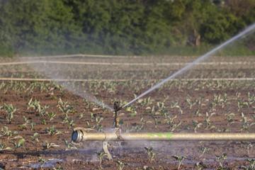 Feld mit Bewässerung im Sommer