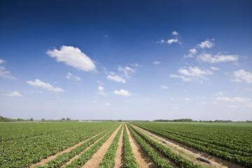 Erdbeeren Feld Landwirtschaft