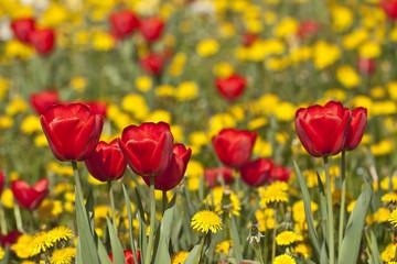 Sommerwiese gelbe Löwenzahnblüten mit roten Tulpen
