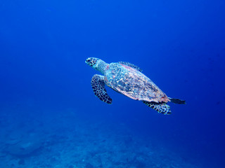 Sea turtle-Maldive