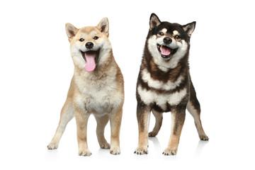 Wall Mural - Two Shiba inu dogs