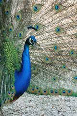 Pavone blu comune
