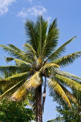 Coconut palms on blue sky background