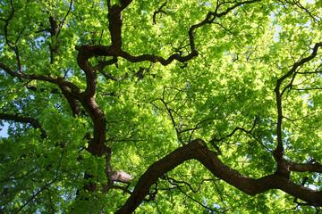 Tuinposter Aan het plafond Baumkrone Eiche