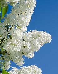 White lilac ( syringa vulgaris)