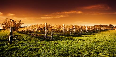 Fototapete - Golden Vineyard Sunset