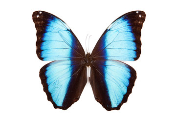 Black and blue butterfly Morpho deidamia isolated