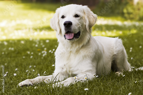 Golden Retriever Welpen Stock Photo And Royalty Free Images On