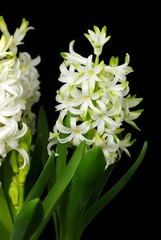 White hyacinth flowers
