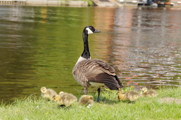 Goose & Chicks