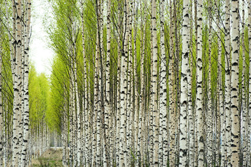 Poster Berkbosje Birch trees in spring