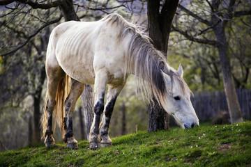 Koń na polanie w Rumunii