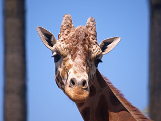 Closeup Picture of Giraffe's Head