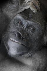 Gorilla _mg_6086