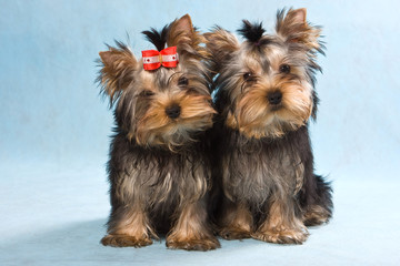 Yorkshire terrier puppy on blue