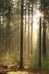 Keuken foto achterwand Bos in mist Rising sun enters the coniferous forest on a foggy spring day