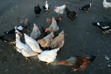 Group of domestic poultry eating