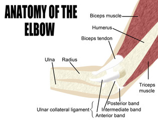 Anatomy of the elbow