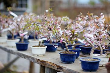 Foto auf Acrylglas Bonsai Row of bonsai trees at a japanese garden