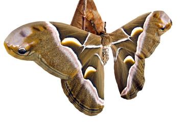 Nascita  di una farfalla ....Samia Cynthia.....