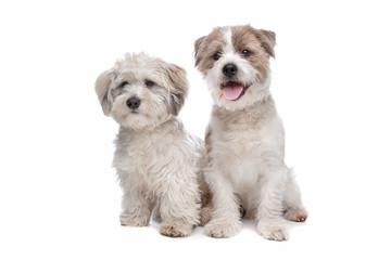 boomer, mixed breed dog