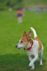 Parson Jack Russell Terrier running in a park