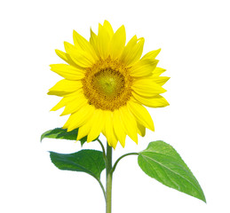 Yellow sunflower