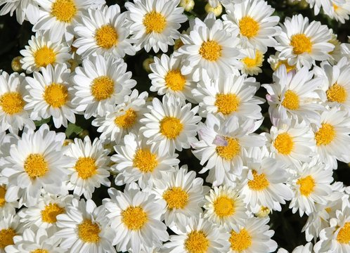 Little white daisies in the sun