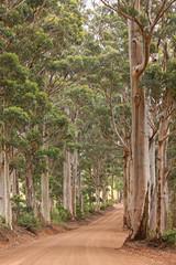Road through Karri trees - native Australian flora
