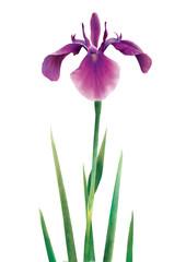 ハナショウブ 紫