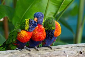 Photo sur Plexiglas Perroquets Perroquets multicolores, loris de swanson, Guadeloupe